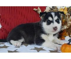 Male and female siberian husky pup for pet lovers