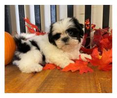 Quality Golden shih tzu   puppies for sale